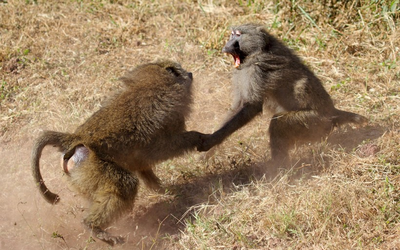 Male olive baboons fighting, serengeti national park Tanzania