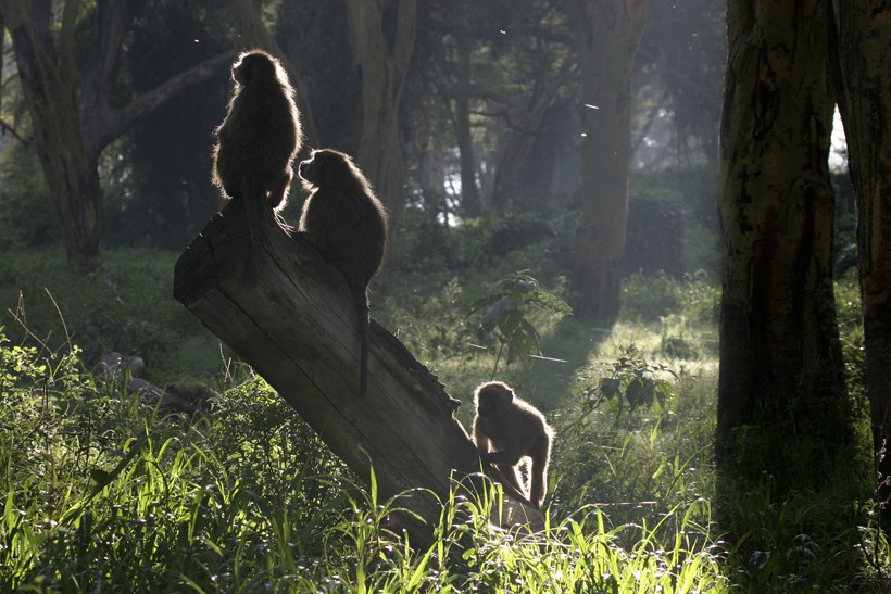 Olive baboons sitting on a stump in the forest