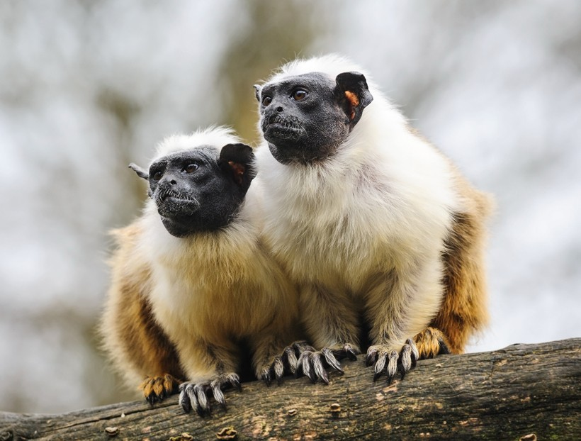 Two pied tamarin adults
