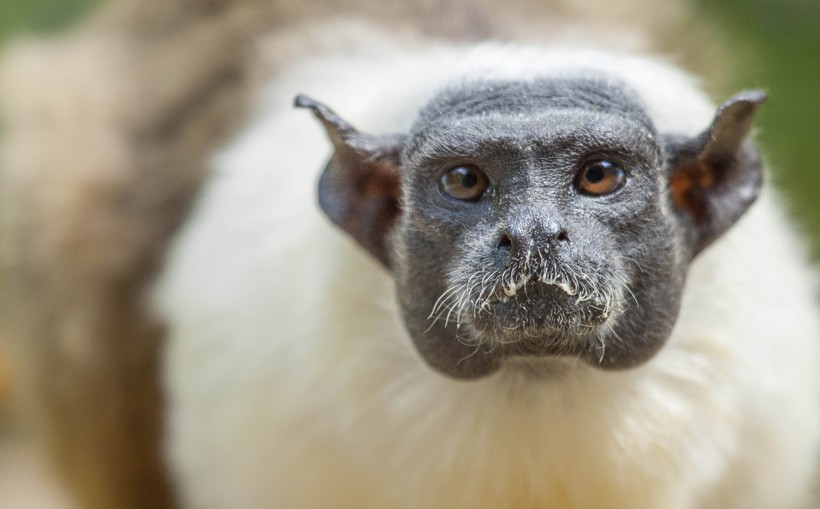 The pied tamarin is an endangered species
