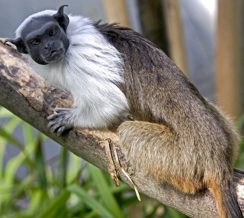 Pied tamarin sitting in a tree