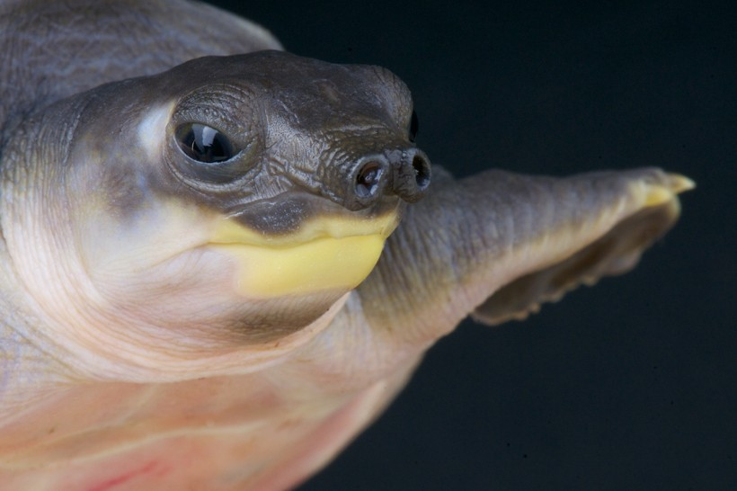 Closeup head olive-gray pig-nosed turtle