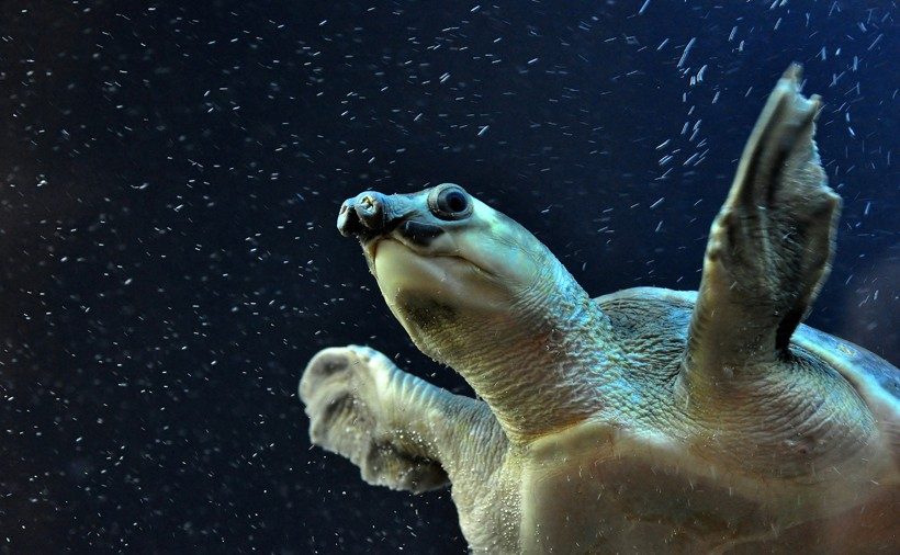 The turtles inhabit freshwater such as rivers, lakes, swamps, streams, lagoons, and water holes.