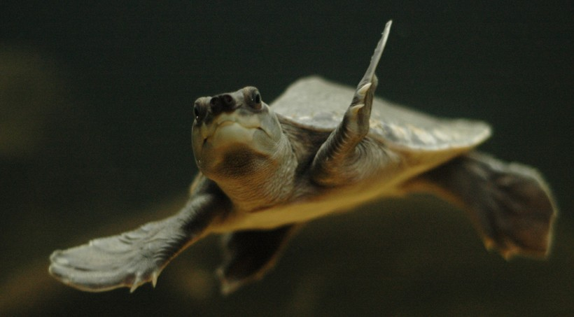 Pig-nosed turtles are the only freshwater turtles that have flippers similar to the marine turtles.