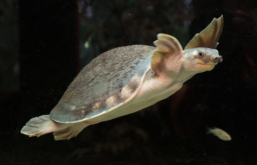 Pig-nosed turtle can weigh around 20 kg and grow up to 70 cm