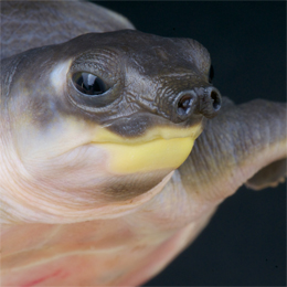 Pig-nosed Turtle