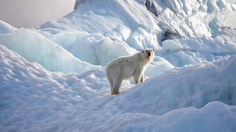 Polar bear standing on arctic ice floes