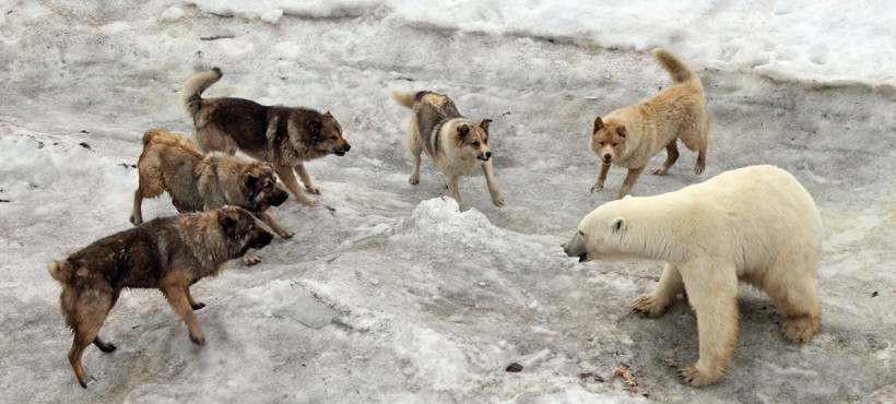 https://www.aboutanimals.com/images/polar-bear-attacked-by-dogs-820x370.jpg?d8bc0c