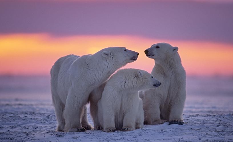 Polar bears, Canadian arctic sunset