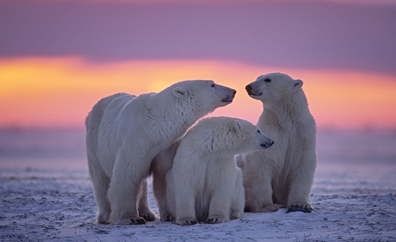 Polar bears, Canadian arctic sunset