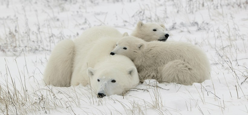 Young polar bears remain with their mother for about two years.