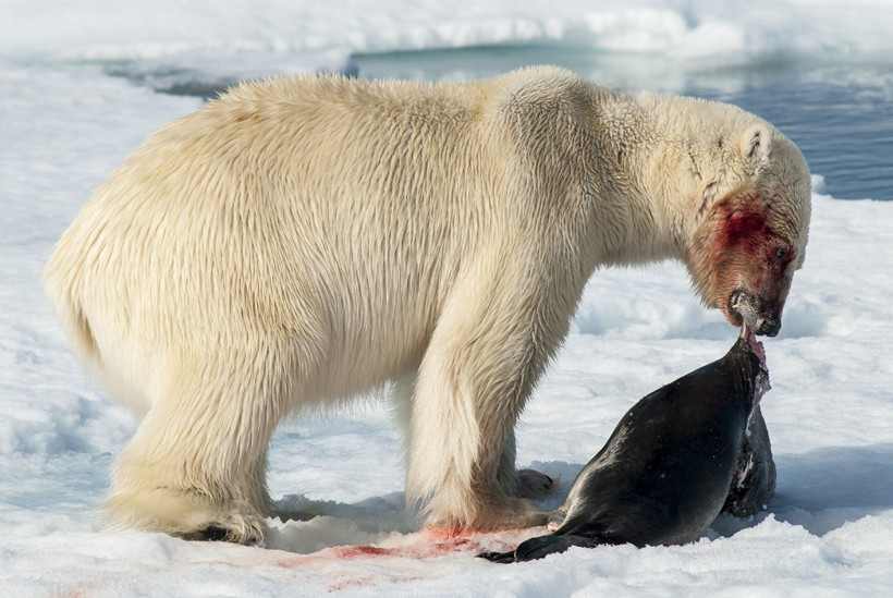 The primary diet of polar bears consists of seals.
