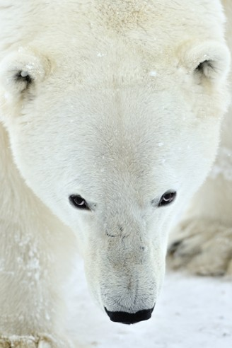 Polar bears are the largest carnivores of the bear family.