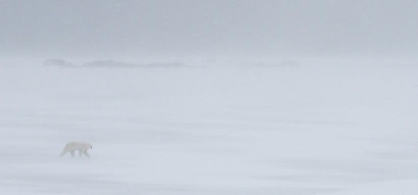 Polar bear walking through an ice blizzard