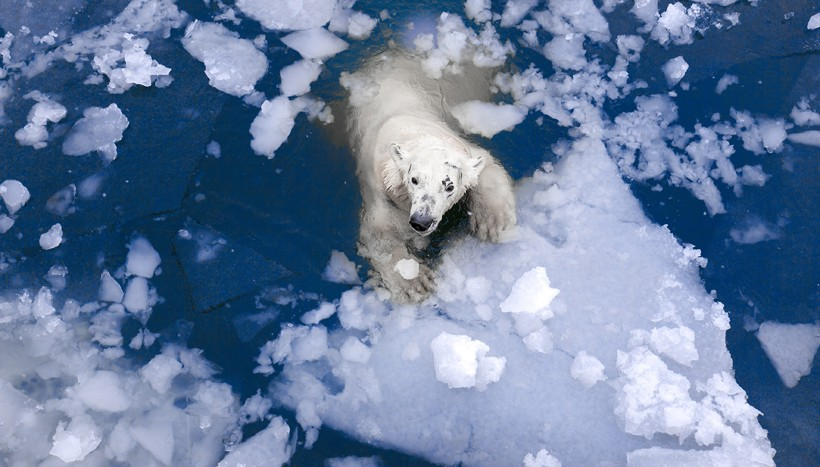 Female polar bear swimming through the arctic ice