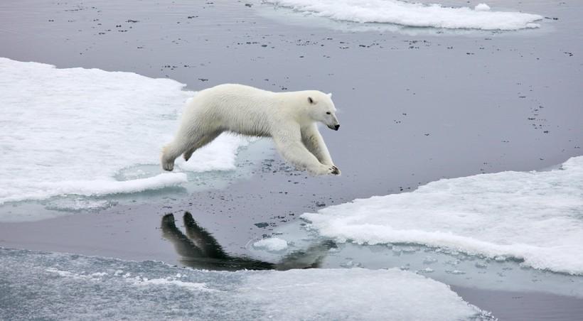 Polar Bear (Ursus maritimus) | about animals