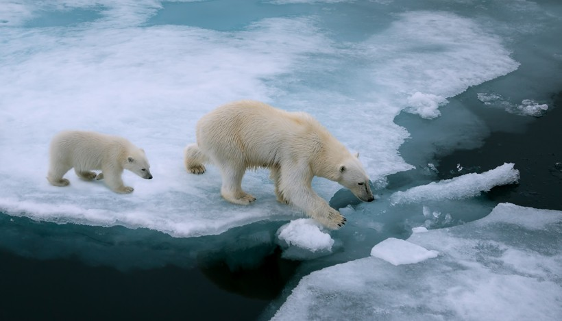 Mother polar bear and cub walking on ice, arctic ocean (svalbard, Norway)