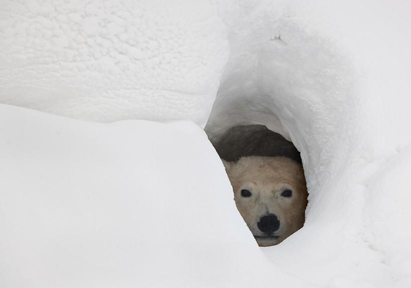 Pregnant polar bear hibernating in a deep den