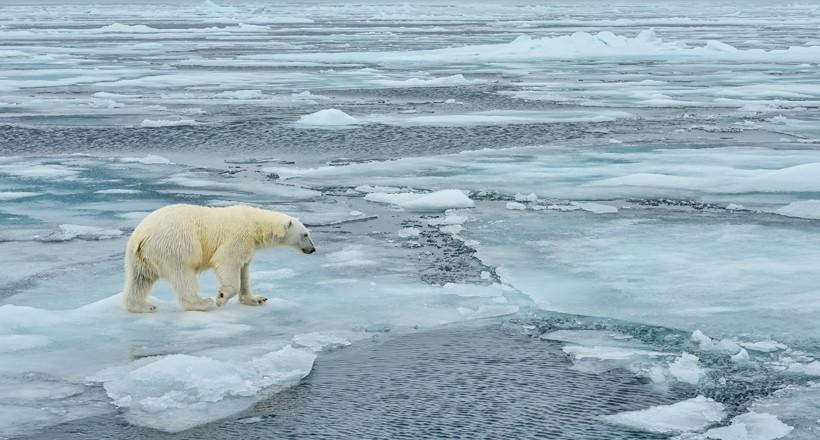 Polar bear walking across the arctic ice floe