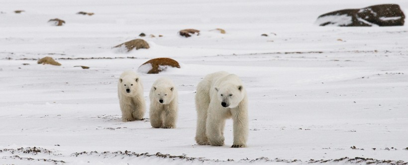 Polar bear walking with cubs over the tundra of Canada
