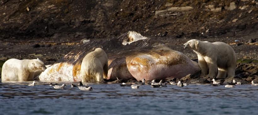 Polar bears feeding on a dead sperm whale