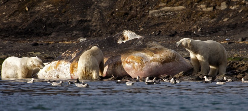 Polar bears feeding on a dead sperm whale