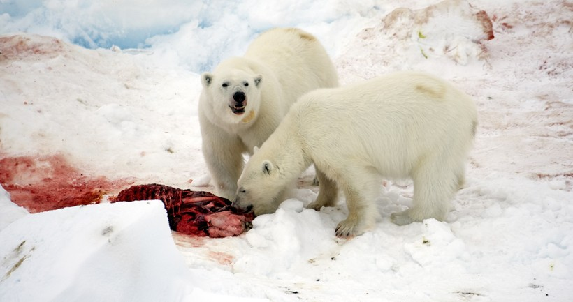 The polar bear is ready to share food with other bears if they beg properly.