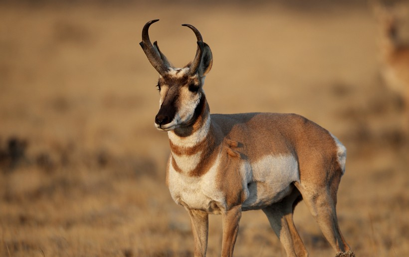 Pronghorn antelope in the early morning sun, Wapiti, Wyoming