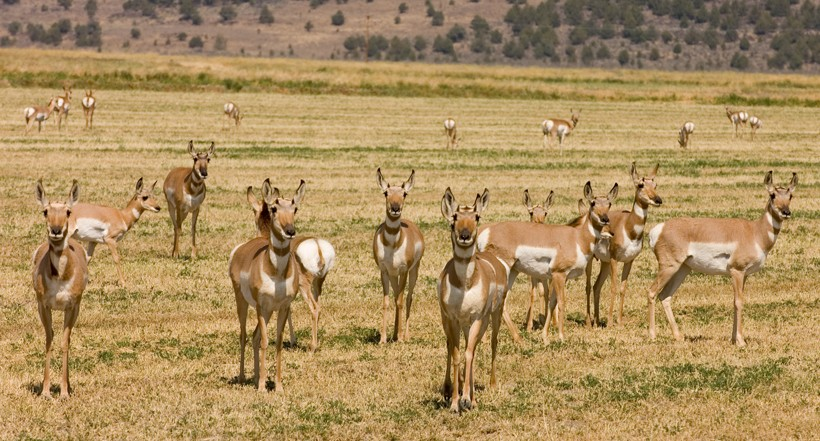 Large herds of pronghorns are formed during winter to protect themselves from the predators