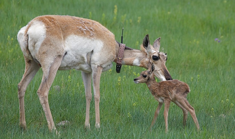 Mother pronghorn antelope with newborn, Custar State Park, South DakotaS