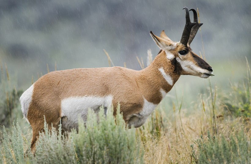 Female pronghorns choose mates through sampling, inciting, and quiet.