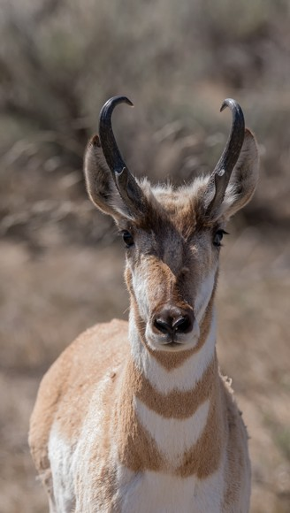 Portrait closeup pronghorn