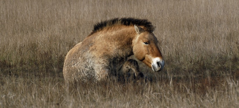 Przewalski's horses use their sharp hooves to dig in the ground, in order to find water in dry climates.