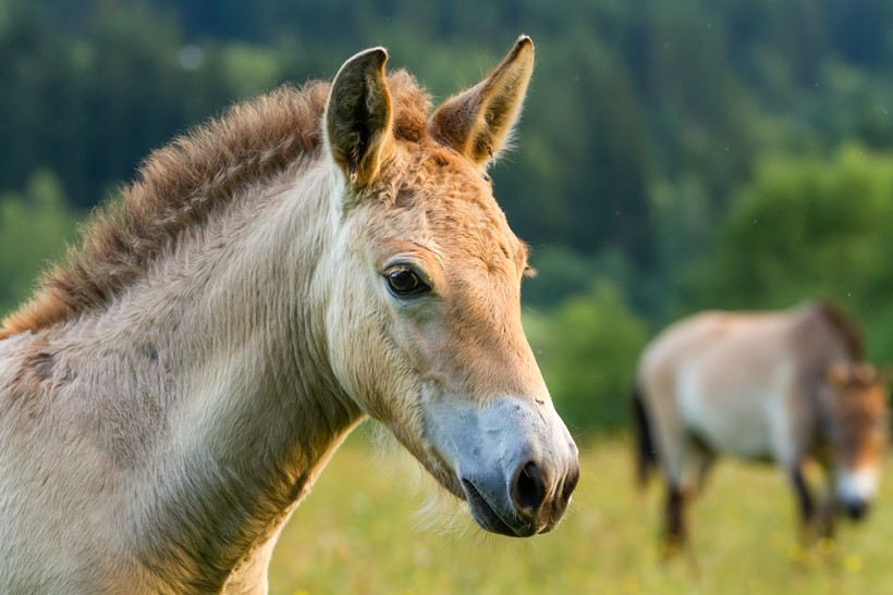 Domestic and przewalski's horses were splitted from their ancestors only 45,000 years ago.