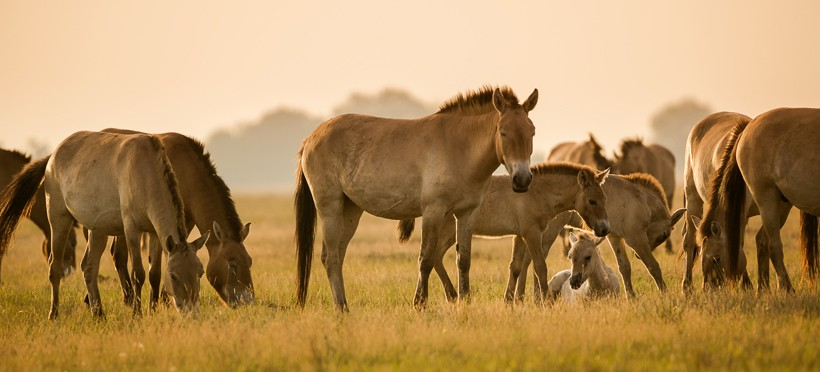 Przewalski's Horses live in small herds consisting of 10-20 members