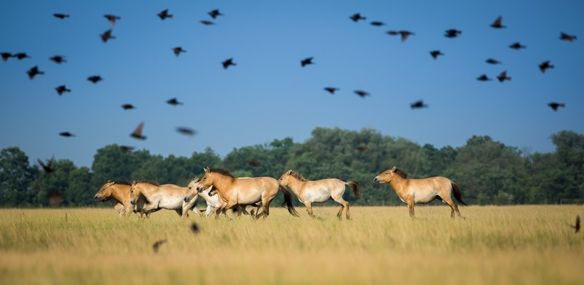 Przewalski's horses herd running on the steppes of mongolia