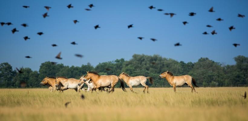 Przewalski's horses herd running on the steppes of mongolia