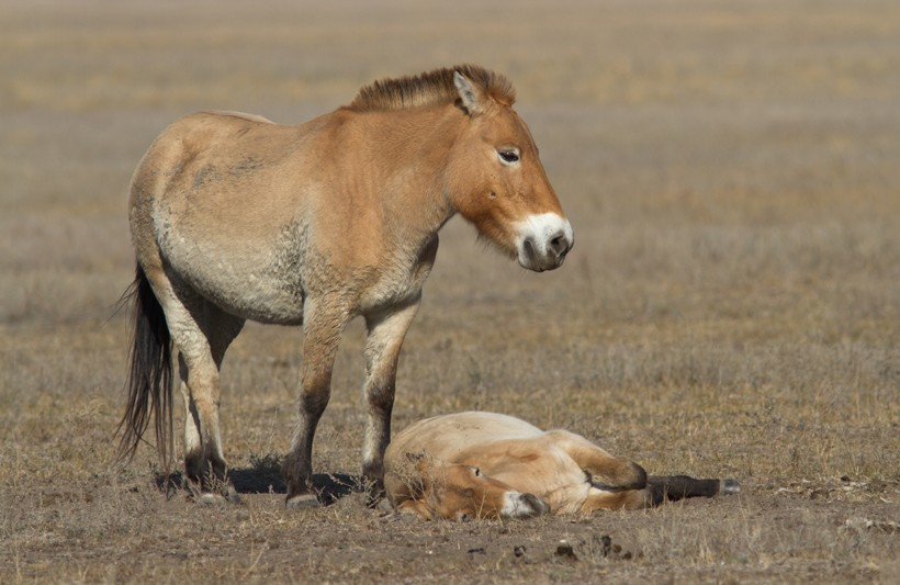 The mare przewalski's horse usually gives birth to a single foal