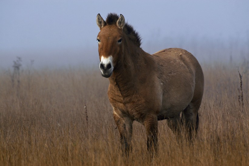 Przewalski's horses develop a thick coat with long hairs to endure the harsh winter months.