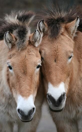 Portrait Przewalski's horses