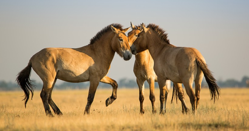 Przewalski's horses are highly social and can often be seen grooming towards each other