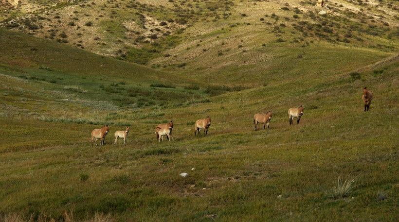 There are a few hundred przewalski's horses left surviving on the wild grasslands of Mongolia and China.