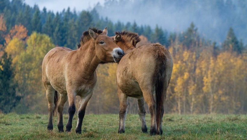 Przewalski's horses have a beige to brown colored coat, with dark brown or black legs and a white muzzle.