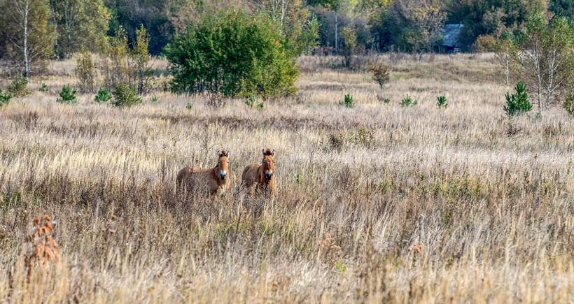 Przewalski's horses, Chernobyl Nuclear Power Plant Zone of Alienation, Ukraine