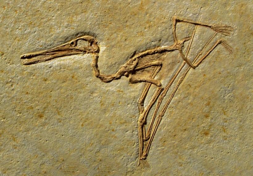 Fossil pterosaur
