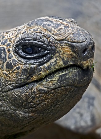 Closeup head Radiated tortoise