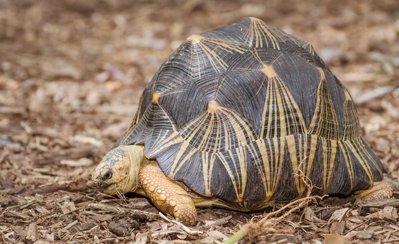 Radiated Tortoise eating