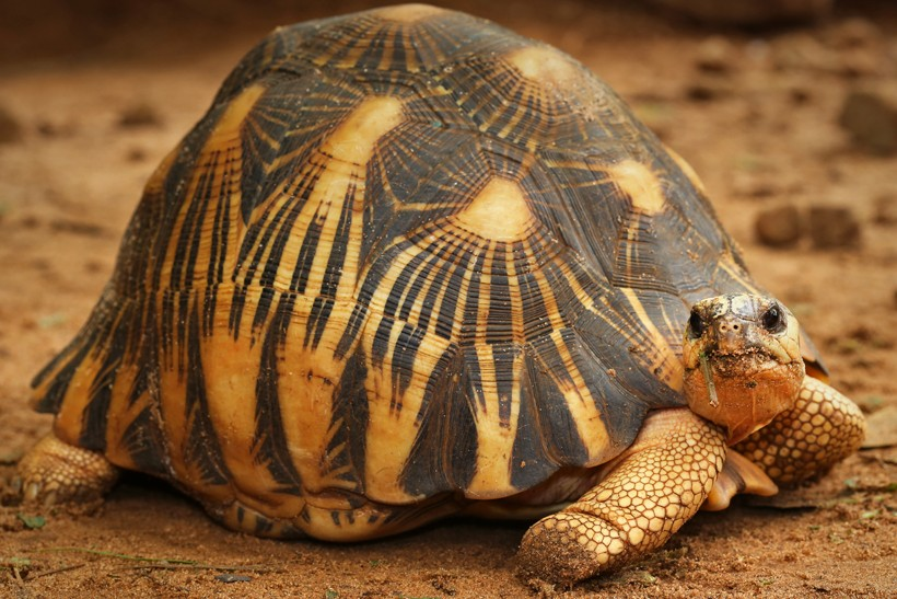 Shell of the Radiated tortoise (Madagascar)