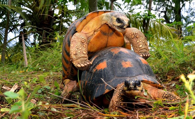 Radiated tortoises mating