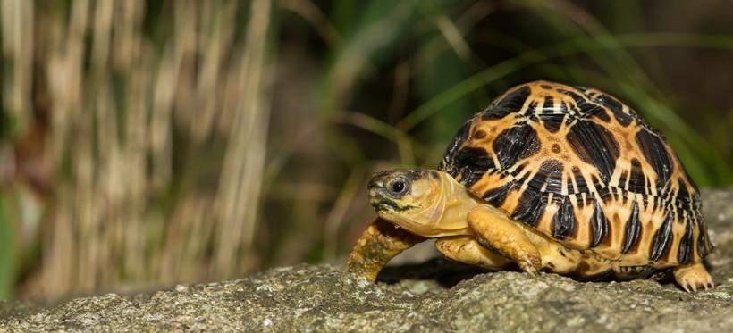 Newborn Radiated Tortoise
